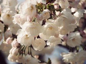 Blossoms…