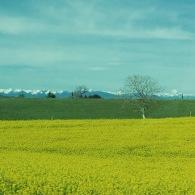 champs de colza, montagnes enneigées