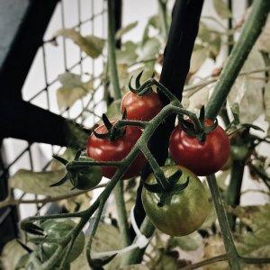 les premières tomates de la saison