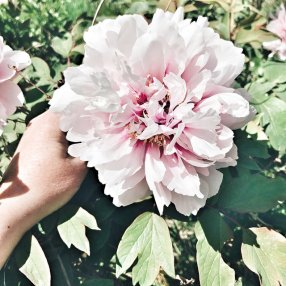 Les pivoines roses du jardin