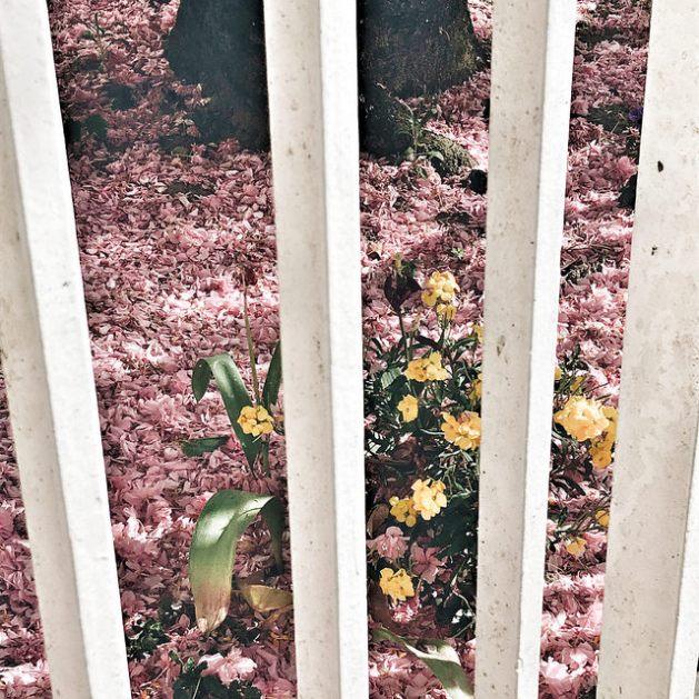 Tapis de fleurs de cerisier roses