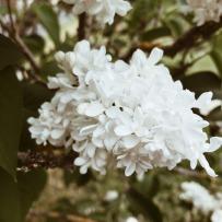 Lilas blanc du jardin