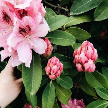Encore des fleurs roses
