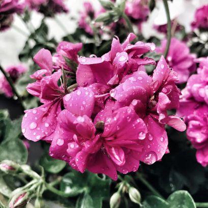 Géraniums sous la pluie