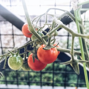 Les tomates sont mûres