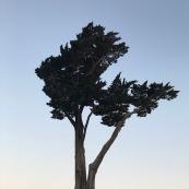 Cet arbre mythique. Ceux qui savent, savent.