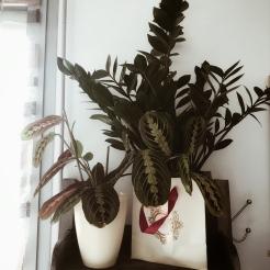 Maranta et Zamioculcas Zamiifolia