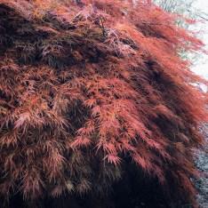 L'arbre qui flamboie