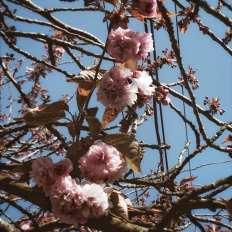 Instantané #72 (explosion poétique d'arbres en fleurs)
