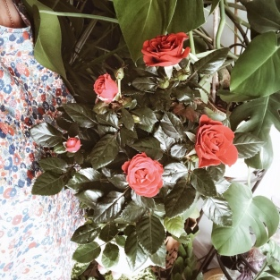 Un rosier porte-bonheur