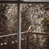 Un oiseau qui toque à la fenêtre