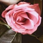 Rose, oser, eros