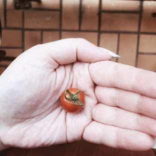 La première petite tomate
