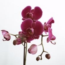 Orchidée, féminité