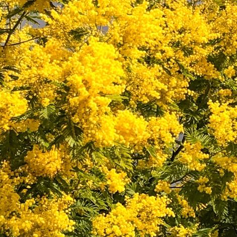 Jaune mimosa