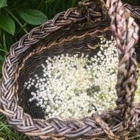 Cueillette des fleurs de sureau