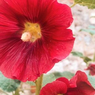 Le velouté des roses trémières