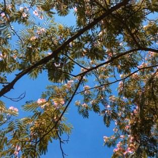 Arbre à pompons roses (albizia)