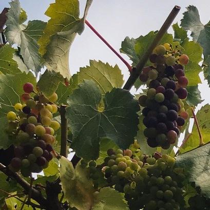 Le raisin qui mûrit