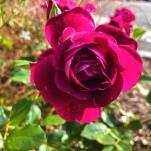 Rose, eros, oser