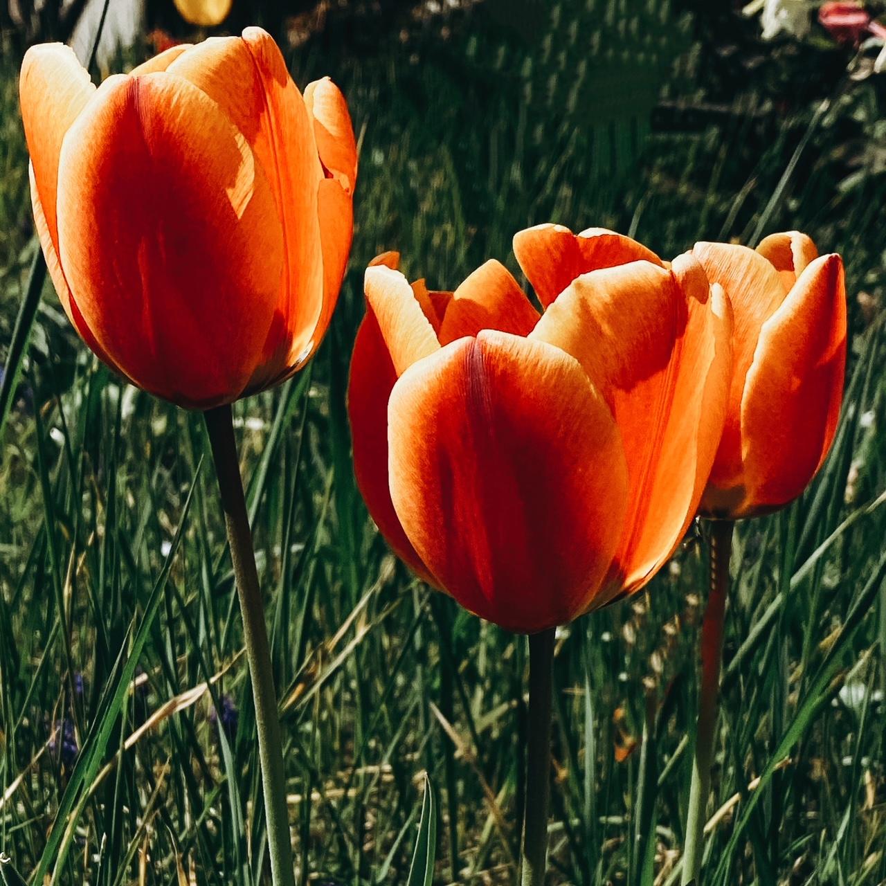 Tulipes ensoleillées