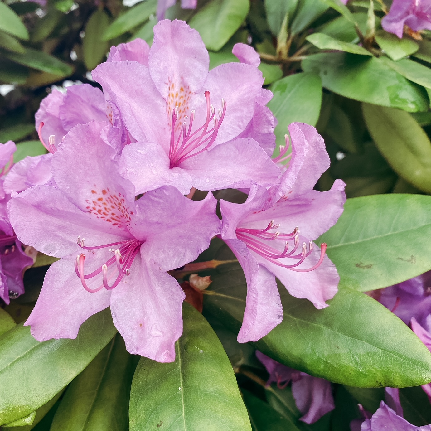 Moi j'aime les rhododendrons